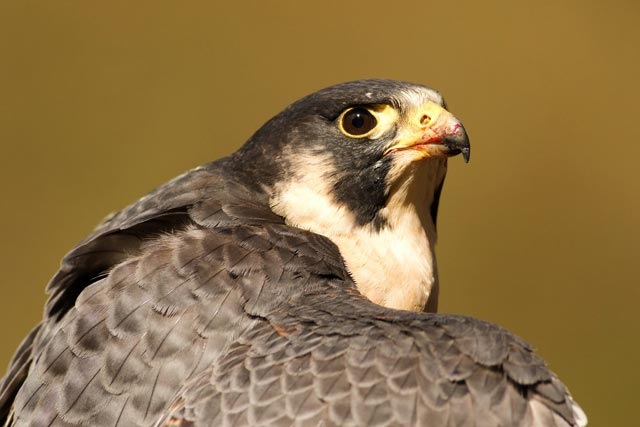 captive peregrine falcon photo