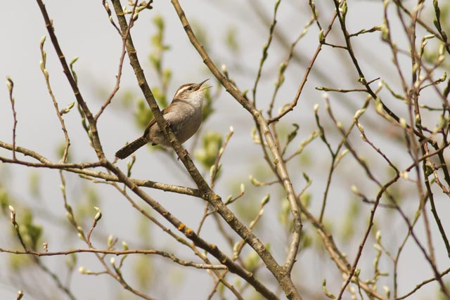 bewicks wren calling photo
