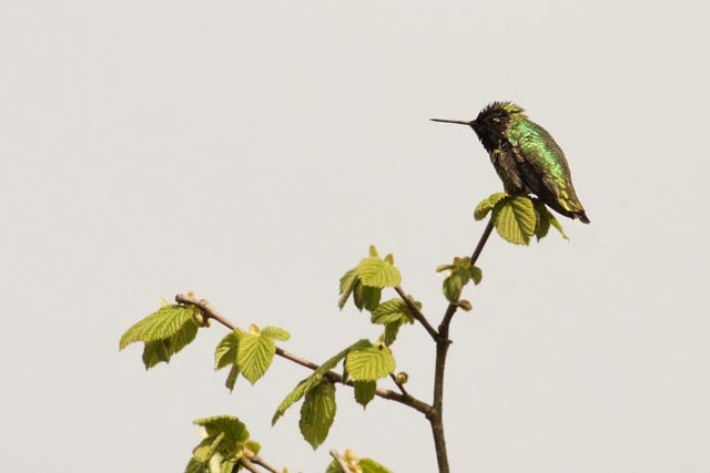 black chinned hummingbird photo