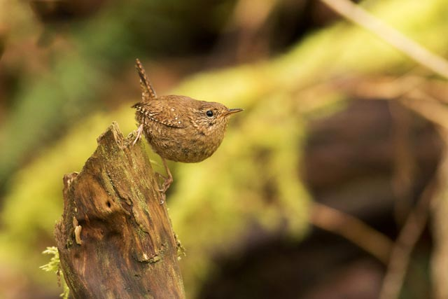 winter wren photo