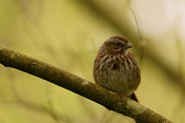 island song sparrow photo