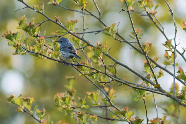 female yellow-rumped warbler photo