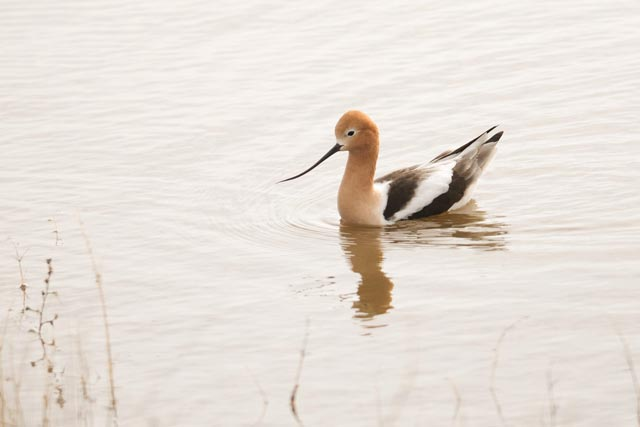 american avocet mating plumage photo