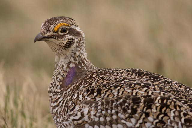 sharp-tailed grouse up close photo