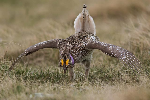 sharp-tailed grouse dance photo