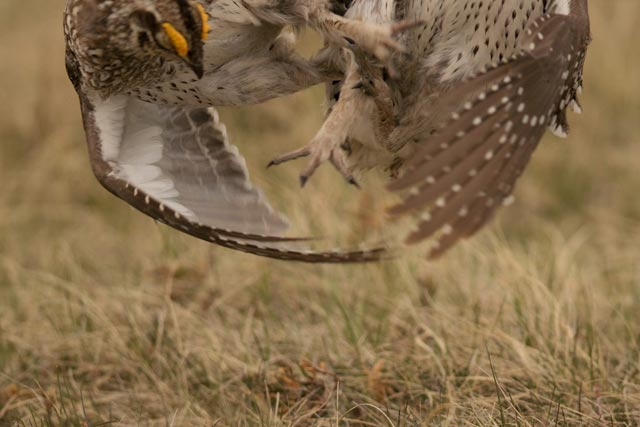 sharp-tailed grouse brawl photo