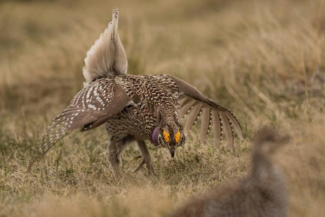 two sharp-tailed grouse courtship photo