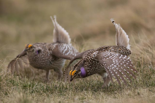 two-sharp-tailed grouse dancing photo