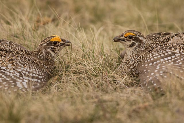 sharp-tailed grouse stare down photo