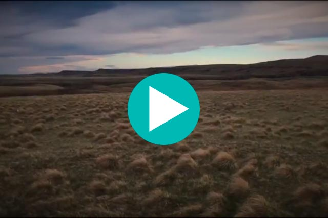 sharp-tailed grouse lek video