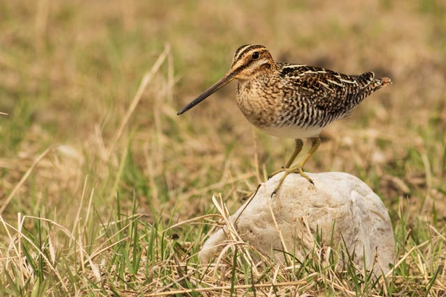 common snipe on a rock photo