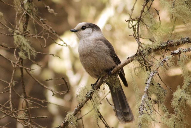grey jay in old growth photo