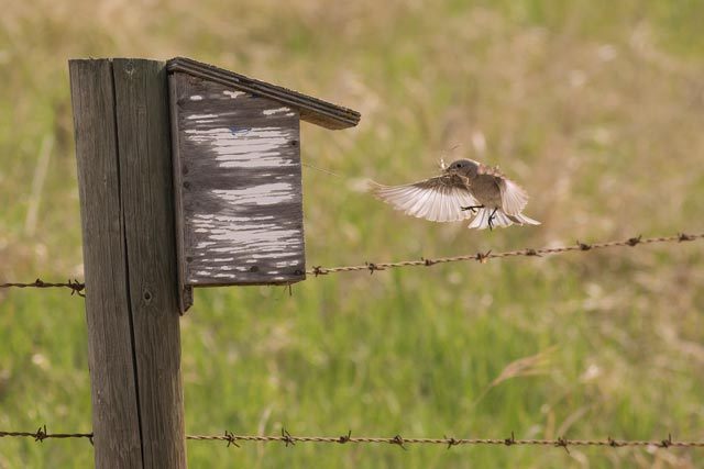 mountain bluebird flying into box photo