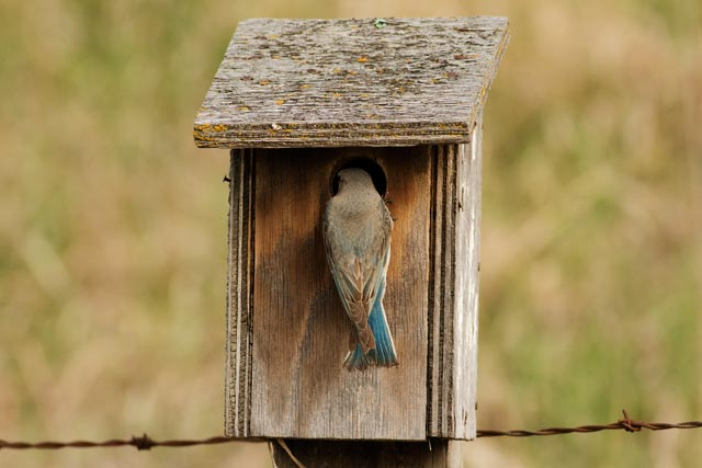 female mountain bluebird nesting photo
