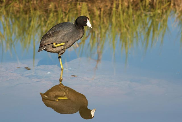 american coot crane pose photo