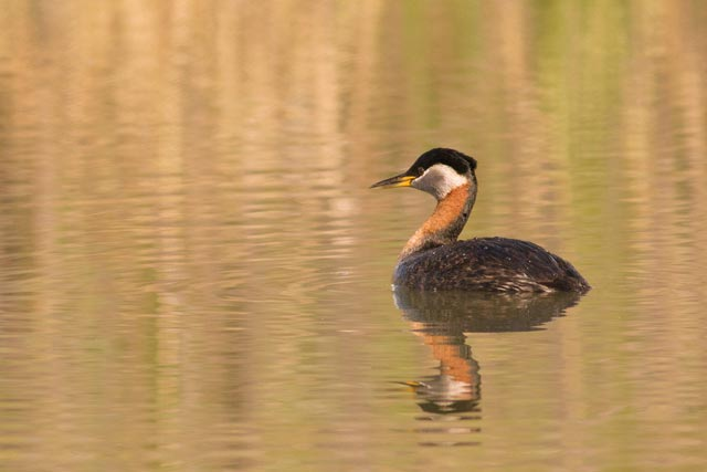 red-necked grebe reflection photo