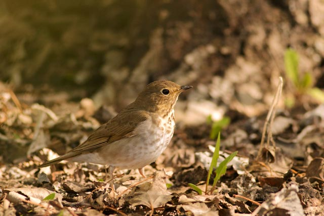 swainsons thrush photo