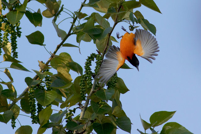 baltimore oriole wings open photo