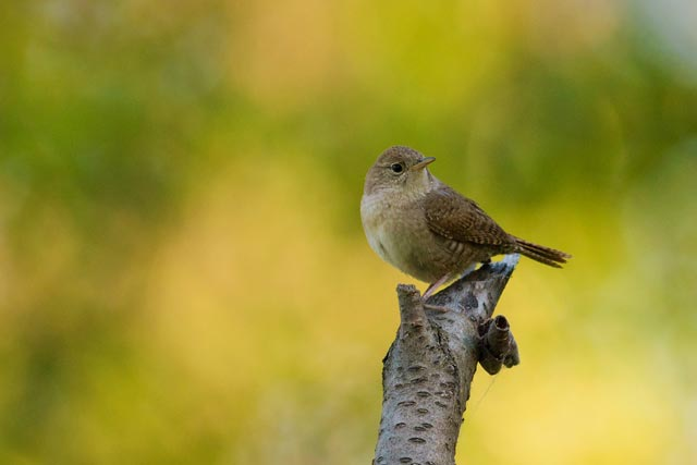 house wren on a stick photo