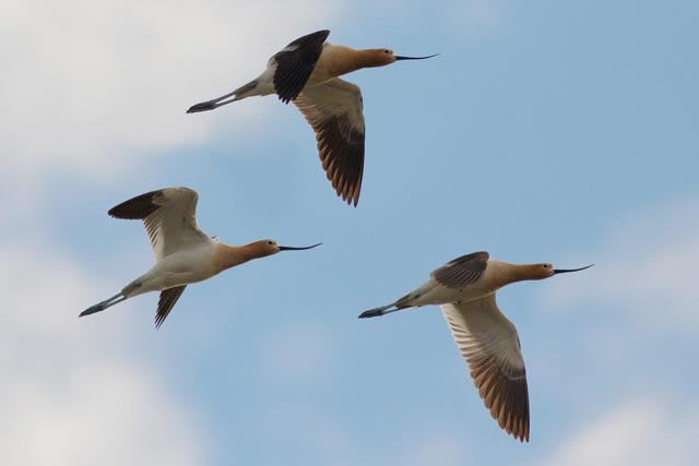 flying american avocets photo