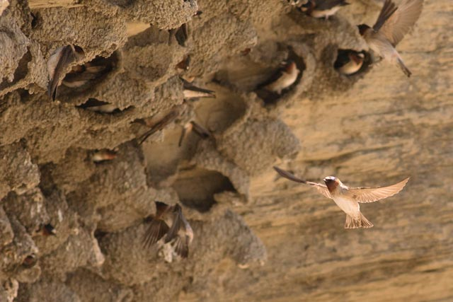 cliff swallow cliffs photo