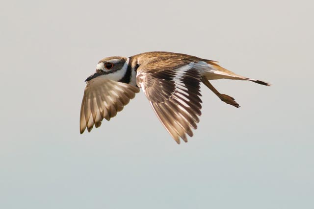 killdeer in flight photo