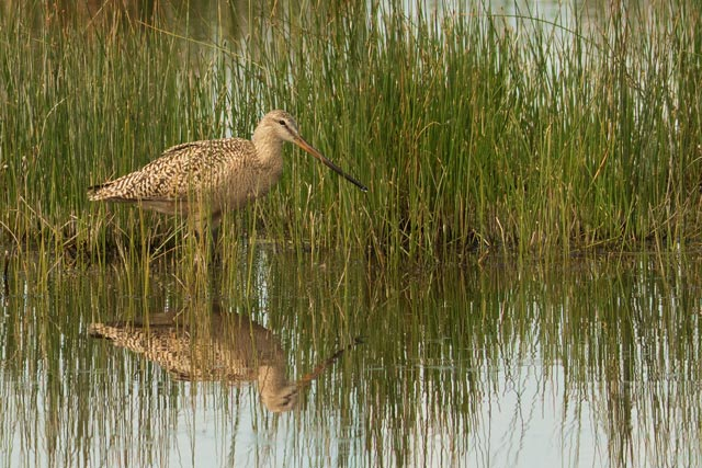 marbled godwit photo