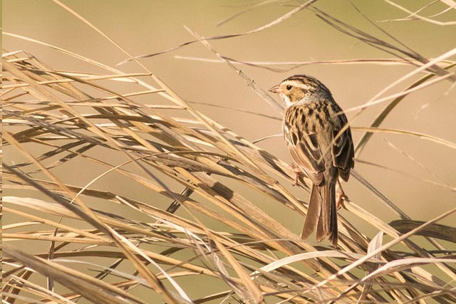 savannah sparrow in grass photo