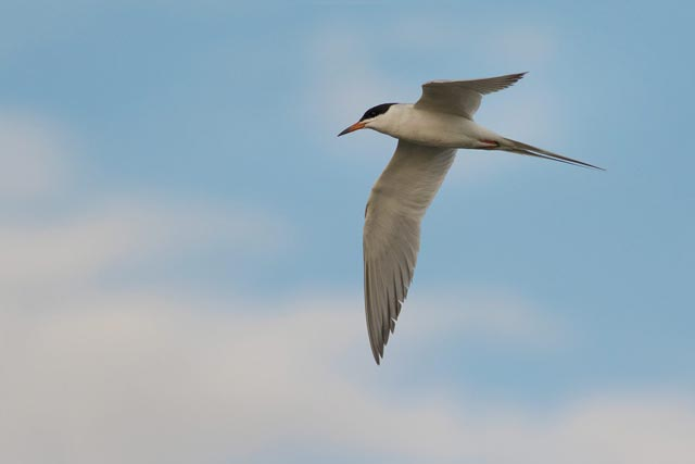 common tern in flight photo