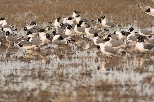 franklin's gull flock photo