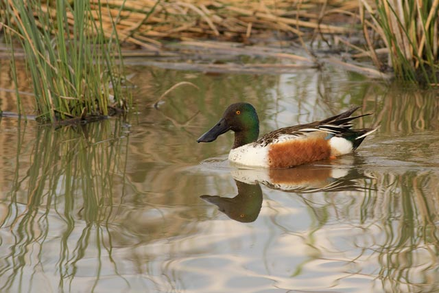 male northern shoveler photo