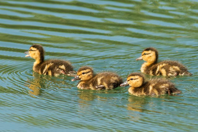 mallard ducklings photo