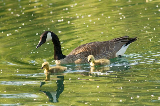 canada goose and goslings photo