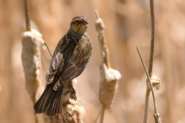 femaled red-winged blackbird fanned tail photo