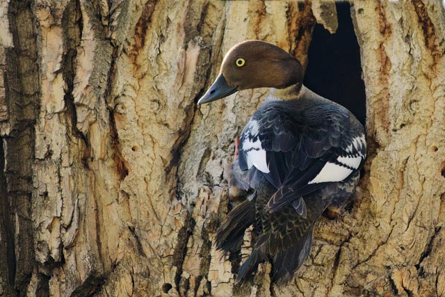 goldeneye in a tree photo
