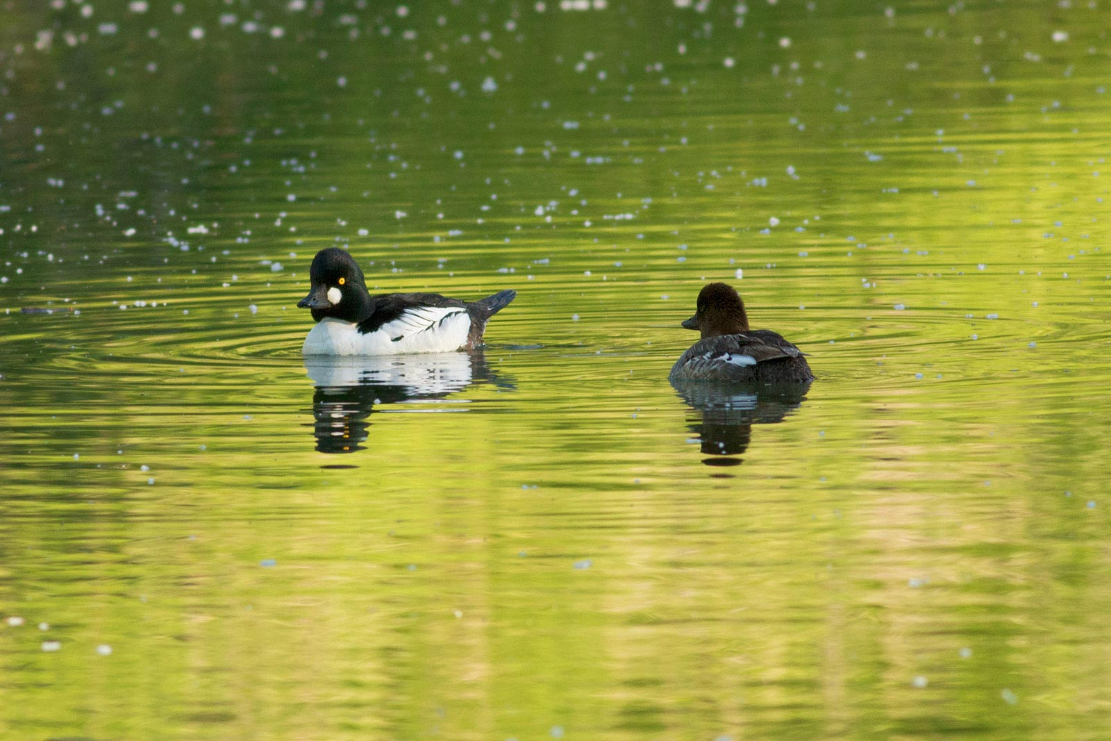 courtship goldeneyes photo