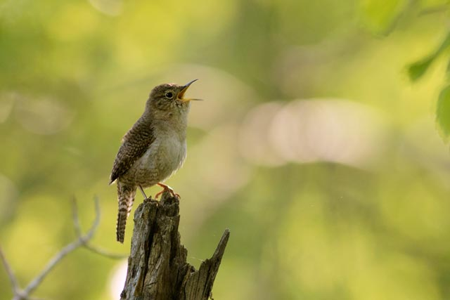 house wren singing photo