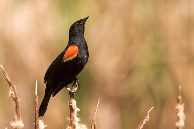 red-winged blackbird stretching photo