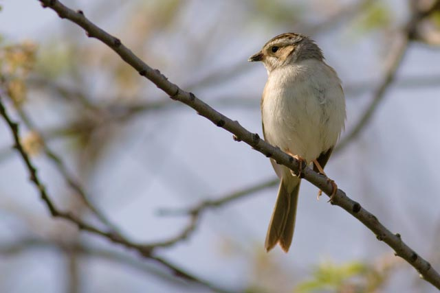 clay-coloured sparrow photo