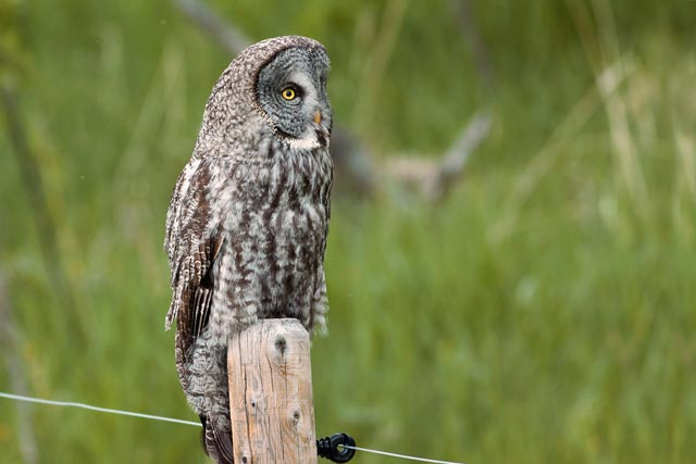 great grey owl side profile photo