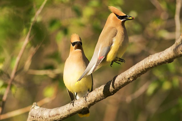 cedar waxwing courthsip hops photo