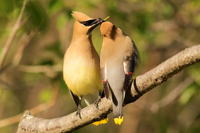 cedar waxwings sharing photo