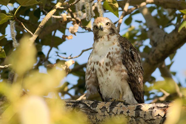 juvenile hawk photo