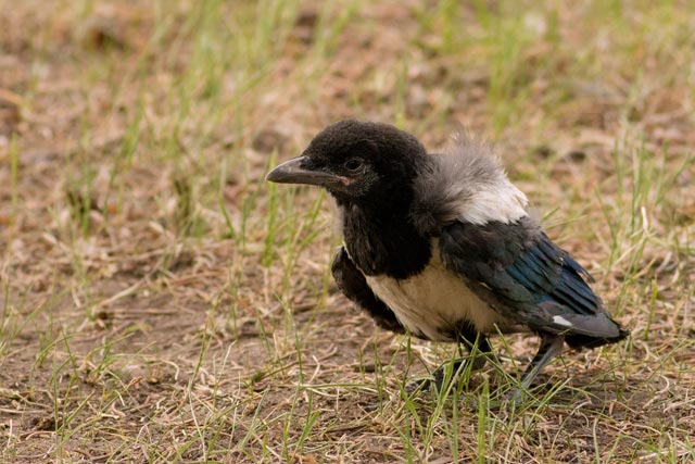 magpie out of the nest photo