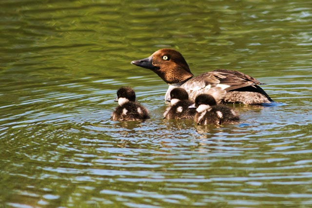 goldeneye and ducklings photo