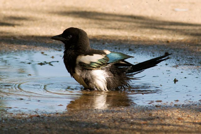 magpie chick in a puddle photo