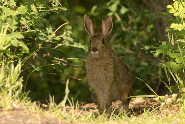 summer snowshore hare photo