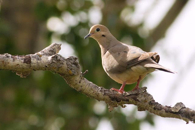 mourning dove in a tree photo