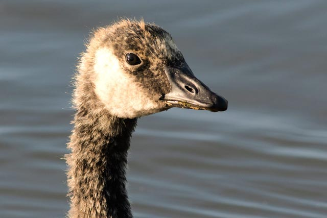 canada goose teenager photo
