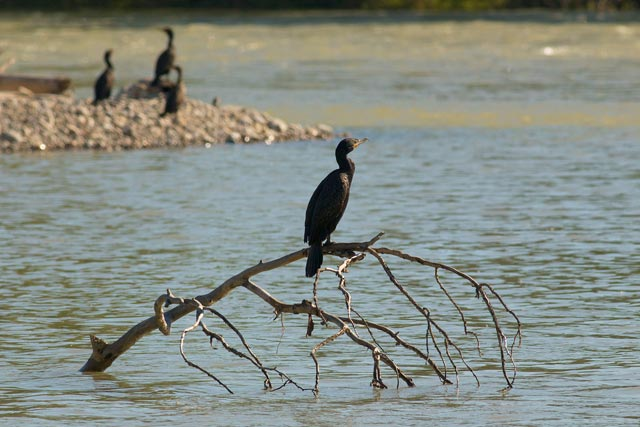 cormorant on a branch photo